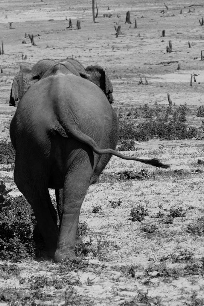 Elephante Sri Lanka